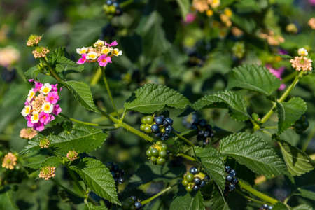 Beautiful flowers and fruits of Lantana camara (common lantana) plant