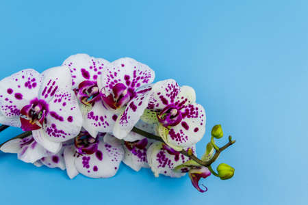 Branch of orchid phalaenopsis on pastel blue background. Top view