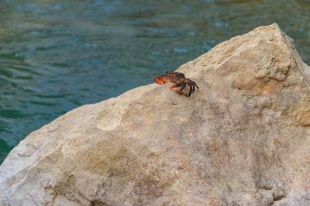 Freshwater river crab (Potamon ibericum) on stone near a mountain river