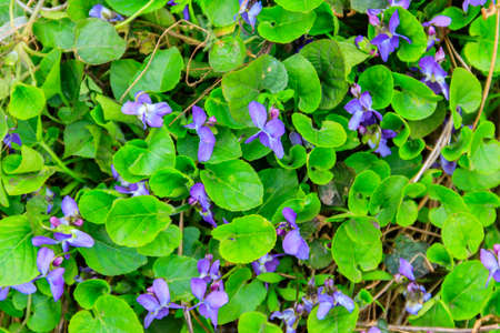 Wild violets on a meadow at spring