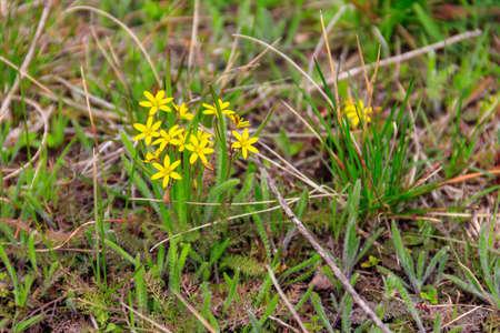 Yellow star-of-Bethlehem flowers (Gagea lutea) on a green meadow