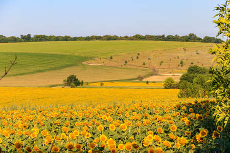 Summer landscape with sunflower fields, hills and blue sky 免版税图像