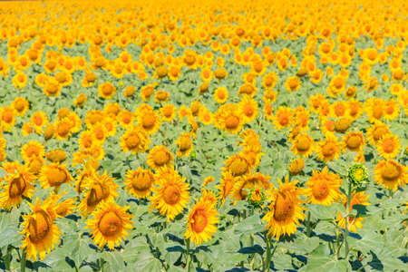 View of beautiful sunflower field at summer