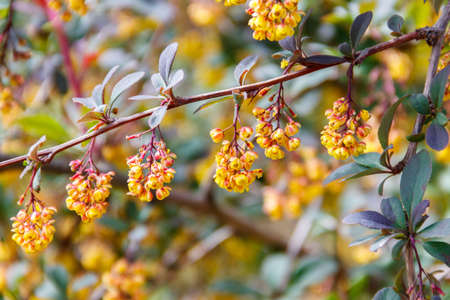 Yellow flowering plant of Thunberg's barberry (Berberis thunbergii), also known as the Japanese barberry, or red barberry. Barberry shrub in park blooms with yellow flowers