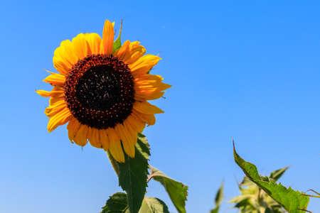 Yellow decorative sunflower in a garden 免版税图像
