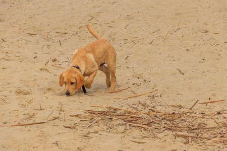 Cute labrador retriever puppy playing on a sandy beach 免版税图像