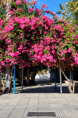 Beautiful blooming pink bougainvillea in a park