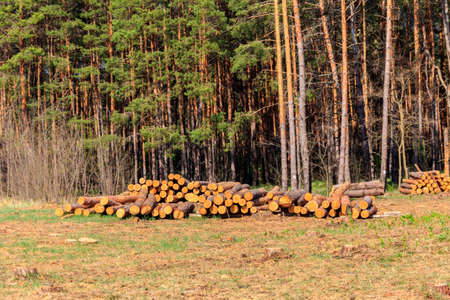Stacked tree trunks felled by the logging timber industry in pine forest Stock Photo