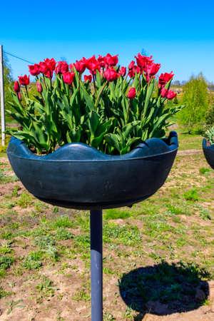 Red tulips in flowerpot in a park