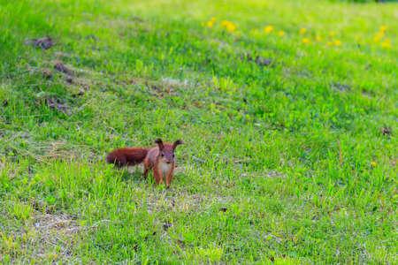 Cute baby squirrel on a green lawn Banco de Imagens