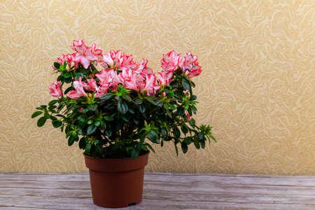 Blooming pink azalea in flower pot on a table Banco de Imagens
