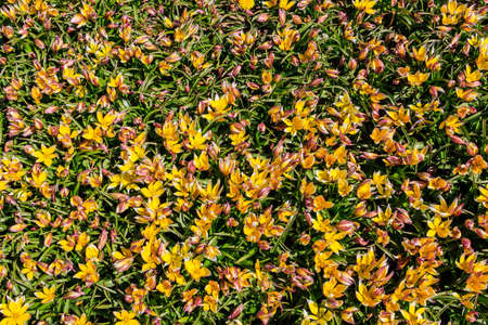 Blooming late yellow tulips (Tulipa tarda, Tulipa dasystemon) on flowerbed in the garden