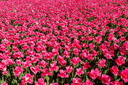 Large flowerbed of pink tulips in the park at spring Banco de Imagens