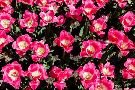 Large flowerbed of pink tulips in the park at spring 免版税图像