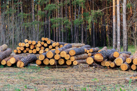Stacked tree trunks felled by the logging timber industry in pine forest 免版税图像