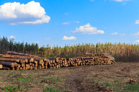 Stacked tree trunks felled by the logging timber industry in pine forest Banco de Imagens
