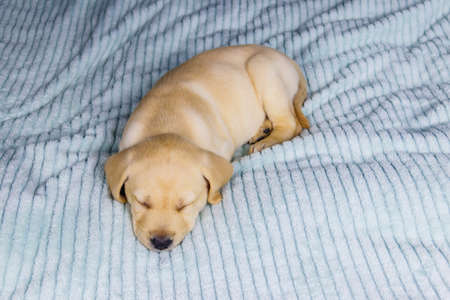 Small cute labrador retriever puppy dog sleeping on a bed 免版税图像