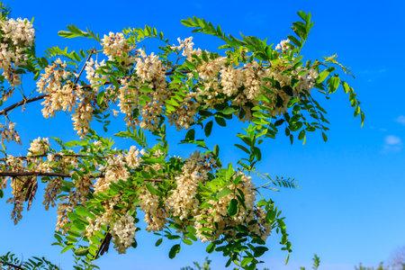 White acacia flowers closeup (Robinia pseudoacacia). Acacia tree bloom 免版税图像