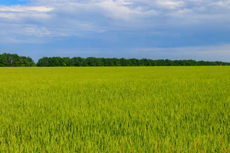 View of a field of young green wheat 免版税图像