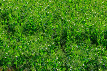 View of the green pea field at spring