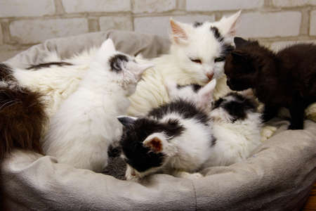 Mother cat with her little kittens in a cat bed 免版税图像