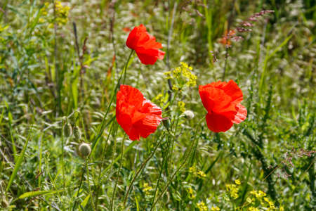 Red poppy flowers on the green meadow