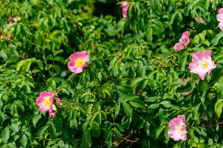 Pink flowers of dog-rose (rosehip) on a bush in the garden