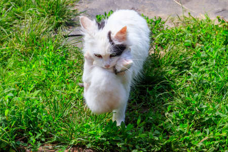 Mother cat carrying her white kitten in mouth
