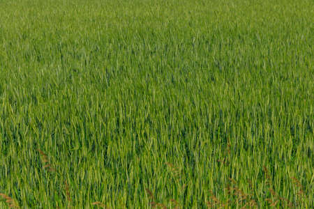 Field of the young green wheat closeup