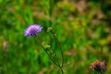 Purple scabiosa flower on a green meadow