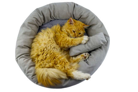 Ginger cat lying in comfortable pet bed isolated on white background 免版税图像