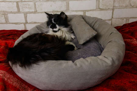 Longhair cat lying in his soft cozy cat bed