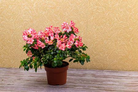Blooming pink azalea in flower pot on a table 免版税图像