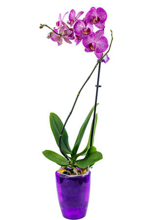 Orchid phalaenopsis in flower pot isolated on white background