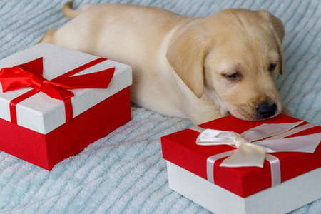 Small cute labrador retriever puppy dog with gift boxes on a bed 免版税图像