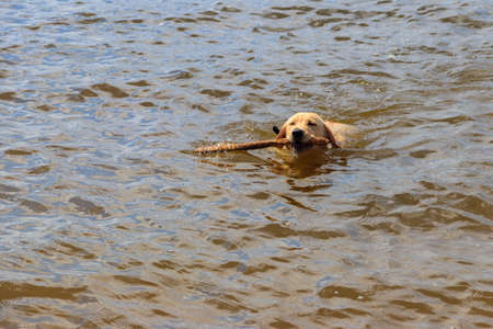 Cute labrador retriever puppy swimming with stick in a river