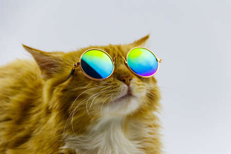 Portrait of a beautiful cute fluffy ginger cat wearing sunglasses on white background 免版税图像