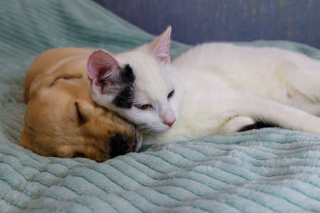 Small cute labrador retriever puppy dog and young cat on a bed. Friendship of pets 免版税图像