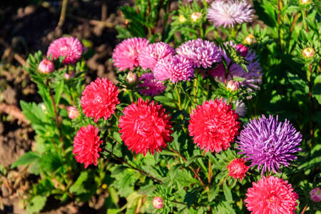 Multicolored asters on flower bed in the garden 免版税图像