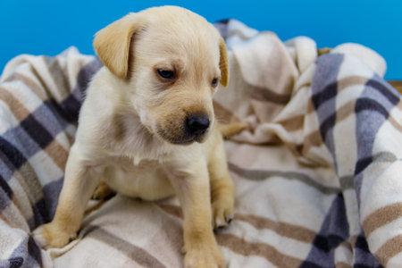 Small cute labrador retriever puppy dog on a plaid