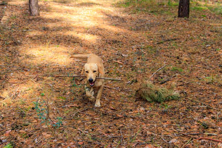 Labrador retriever walking in the pine forest at autumn