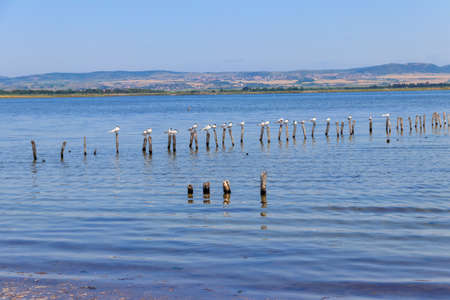 Flock of common terns (Sterna hirundo) perched on a wooden poles at Pomorie salt lake in Bulgaria Фото со стока
