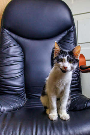 Young cat in a black leather armchair