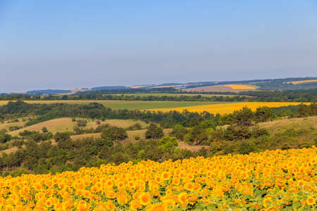 Summer landscape with sunflower fields, hills and blue sky Фото со стока