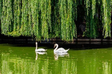 Pair of white swans swimming on the lake