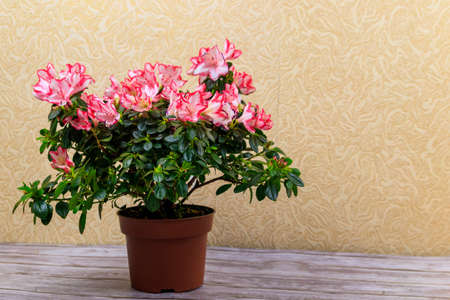 Blooming pink azalea in flower pot on a table Фото со стока