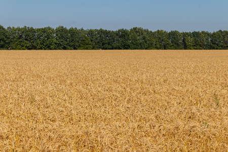Field of ripe golden wheat Фото со стока