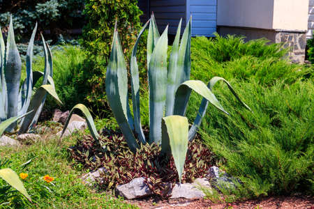 Agave tequilana, commonly called blue agave (agave azul) or tequila agave Фото со стока
