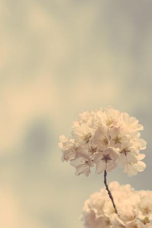 matte: Beautiful cherry blossom in matte finish