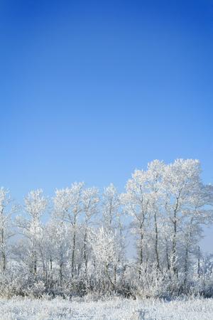 frozen trees: frozen trees on sky background. white winter